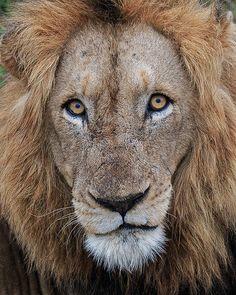 African Lion - photo by Gavin Emmons, via Flickr;  Kruger National Park, South Africa