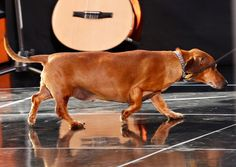 Obese Dachshund Sheds More Than 75 Percent Of Body Weight [PHOTO] : Fun : ISchoolGuide