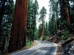 Sequoia National Park Wallpaper | Papel de parede Redwood Road, Sequoia National Park, fotos grátis ...
