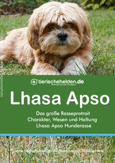 Der Lhasa Apso stammt ursprünglich aus Tibet. Lhasa Apso, Tibet, Dogs, Animals, Companion Dog, Cats, Animaux, Doggies, Animal