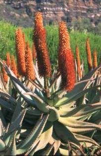 Aloe Ferox x 1 Aloe Vera, Mister And Misses, Tree Identification, Dry Leaf, Cactus Plants, Herbs, Nature, Arthritis, Fingers