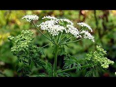 Ядовитые растения. Болиголов пятнистый