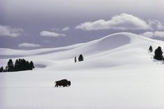 Bison - Winter in Yellowstone - Pictures - CBS News