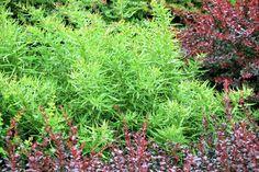 Gagnepains Berberitze • Berberis gagnepainii • Lanzen-Berberitze • Pflanzen & Blumen • 99Roots.com