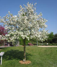 Malus 'Evereste' (Sierappel), kleine boom, witte bloesem, groeit breed, losse kroon, blad blijft lang aan boom, zeer bruikbare soort, vogels komen er op af (6-8m hoog)
