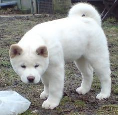 6 Month Old Pure White Akita Inu