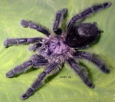 Avicularia Purpurea -- Purple Pinktoe Tarantula (Wanted List)