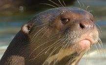 Disapproving otter is not impressed. ;)  Giant river otters are the largest and…