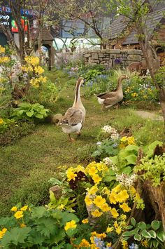 Geese in a country cottage garden  R McN #Animals #Farm