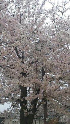 Sakura14
