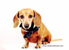Dapper Rufus is bringing sexy to Mondays.  http://wp.me/p27Fw1-uJ #dachshund #doxies #smile