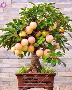 4 Kinds Of Bonsai Fruit Plants Cherry Pear Apple Pomegranate plant Healthy Fruit Plants Perennial Potted Planting Garden flower Fruit Tree Garden, Bonsai, Mini Plants, Plants, Potted Trees, Container Plants, Flower Garden, Bonsai Plants, Fruit Plants