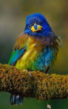 Great Barbet by Aditya Chavan. Birds of India Pretty Birds, Beautiful Birds, Animals Beautiful, Cute Animals, Rare Birds, Exotic Birds, Colorful Birds, World Birds, Funny Birds