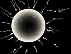 Uniter of Sperm and Egg Is Found : A newly discovered protein is found to play a crucial role in conception.