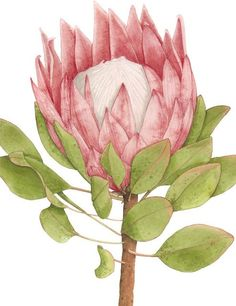 King Protea in king protea drawing collection - ClipartXtras Botanical Flowers, Exotic Flowers, Botanical Illustration, Botanical Prints, Illustration Art, Watercolor Flowers, Watercolor Art, Protea Art, Australian Native Flowers