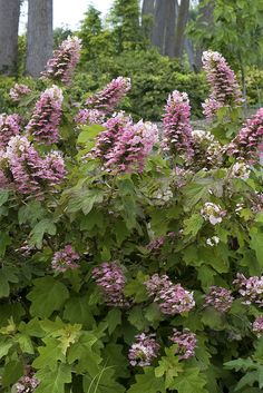 The flowers of native Gatsby Pink oakleaf hydrangea (Hydrangea quercifolia) open white and quickly turn rich pink.