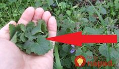 Práve teraz ju možno prekračujete aj vo vašej záhrade: Oplatí sa však pozrieť pod nohy, nenápadná rastlina má úžasnú silu! Herbs, Health, Plants, Health Care, Herb, Flora, Salud, Plant, Spice