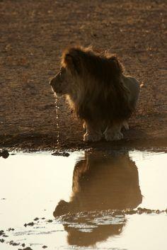 Midget lion! So cute, but still ferocious! ;)