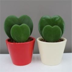 Romantic Sweetheart plant pair in ceramic pots - Valentines gift for him, her.