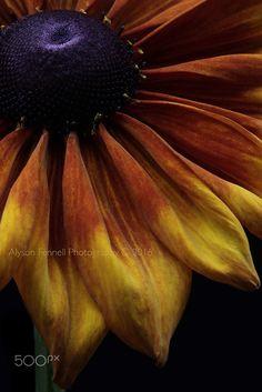 Summerina Flower - Rudbeckia Summerina Flower