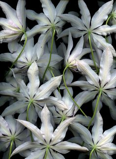 ~Clematis 'Lincoln Star'