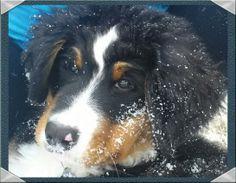 Kodiak,  12 week Bernese Mountain Dog