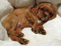 Sneakers the Cavalier King Charles Spaniel Pictures 459211