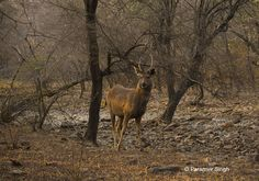 A handsome Sambar deer stag (Rusa unicolour) in Ranthambhore National Park, India.