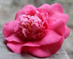Pink Beauty by KairoKittyKat, via Flickr