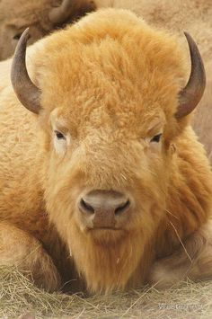 White Buffalo Bison (is a bison) Animals And Pets, Funny Animals, Cute Animals, Animal Bufalo, Beautiful Creatures, Animals Beautiful, American Bison, Tier Fotos, All Gods Creatures