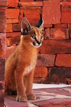 """The caracal is a medium sized cat which it spread in West Asia, South Asia, and Africa. The word Caracal is from Turkey """"Karakulak"""" which means """"Black Ears"""". Here is all about caracal as a pet. Big Cats, Cats And Kittens, Cute Cats, Caracal Cat, Serval, Cat Noises, Baby Animals, Cute Animals, Wild Animals"""