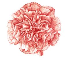 A carnation illustration