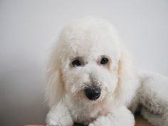 アフロ犬のモデルにもなり、真っ白で、まんまるのモフモフヘヤーが人気赤丸急上昇中のビションフリーゼ。 テレビや雑誌などでも取り上げられ、日本でも少しづつ飼育頭数が増えてきました。 白くてもこもこなあの外見に心が奪われたことがあるかたもいるでしょう。 今回は、ビションフリーゼの特徴や性格はモチロン、飼育する際の注意点であるトリミングやしつけなどまでまとめてみました。