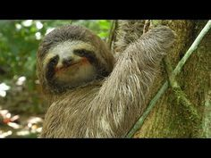 Three-toed Sloth: The Slowest Mammal On Earth [aka. cute, always smiling leaf-eater puppets… ☺] Cute Sloth Pictures, Funny Pictures, Three Toed Sloth, National Geographic Kids, Baby Sloth, Animal Activities, Baby Goats, Cat People, Animals Of The World