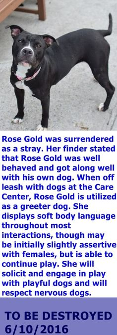 SUPER URGENT NOW--- 06/14/16 +++ Brooklyn Center  My name is ROSE GOLD. My Animal ID # is A1076122. I am a female black and white am pit bull ter mix. The shelter thinks I am about 2 YEARS  I came in the shelter as a STRAY on 06/03/2016 from NY 11422, owner surrender reason stated was STRAY. http://nycdogs.urgentpodr.org/2016/06/rose-gold-a1076122/