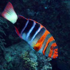 Harliquin Tuskfish