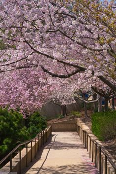 Spring Cherry Blossoms in D.C.