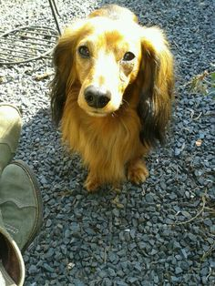 So sweet♡ dachshund