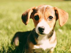 19 Mixed Breed Dogs You Won't Believe Are Real - Beagi (Beagle/ Corgi)