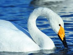 The Whooper Swan is the national bird of Finland and much admired in Europe.