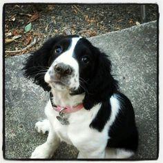 My puppy English Springer Spaniel Sparkles!