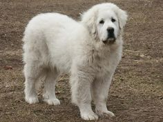"""This is the """"Bozo"""" period for Pyrs...just after puppy and just before dog!"""