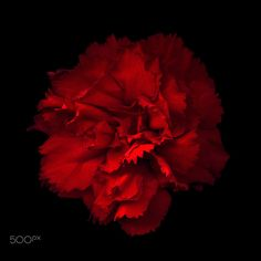 ' FLAMENCO… Carnation – And those who were seen dancing were thought to… Carnation Bouquet, White Carnation, Carnations, Fresh Flowers, Silk Flowers, Broadway Posters, Drawing Exercises, Visual Diary, Flower Garlands