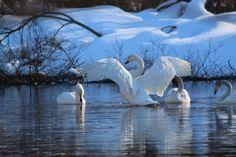 Swans comes with Spring, March 2016 | Photo: Raija Kokkola, Valtimo