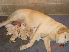 labrador retriever puppies   yellow-labrador-retriever-puppies-for-sale-4%2525252525252009.jpg