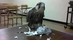 Sorry professor, my falcon ate my homework... - Imgur