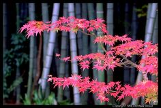 Choose the right flora and fauna for for your guests to fawn over-Red momiji (maple) and green bamboo #zen http://www.asiahomegarden.com/