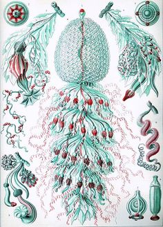 Ernst Haeckel – Obras de arte de la Naturaleza - Buscar con Google
