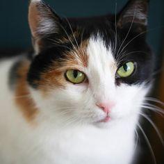 Por qué los gatos tricolor son hembras #gato #animales #mascotas