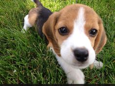 Are you interested in a Beagle? Well, the Beagle is one of the few popular dogs that will adapt much faster to any home. Animals And Pets, Baby Animals, Funny Animals, Cute Animals, Cute Beagles, Cute Puppies, Dogs And Puppies, Pet Dogs, Dog Cat